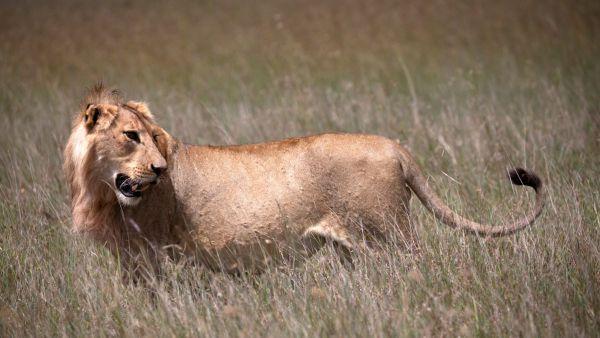 elewana-loisaba-lodo-springs-activities-wildlife-lionF3ED40D7-27F4-D0AF-BFC9-D08466A18AC3.jpg
