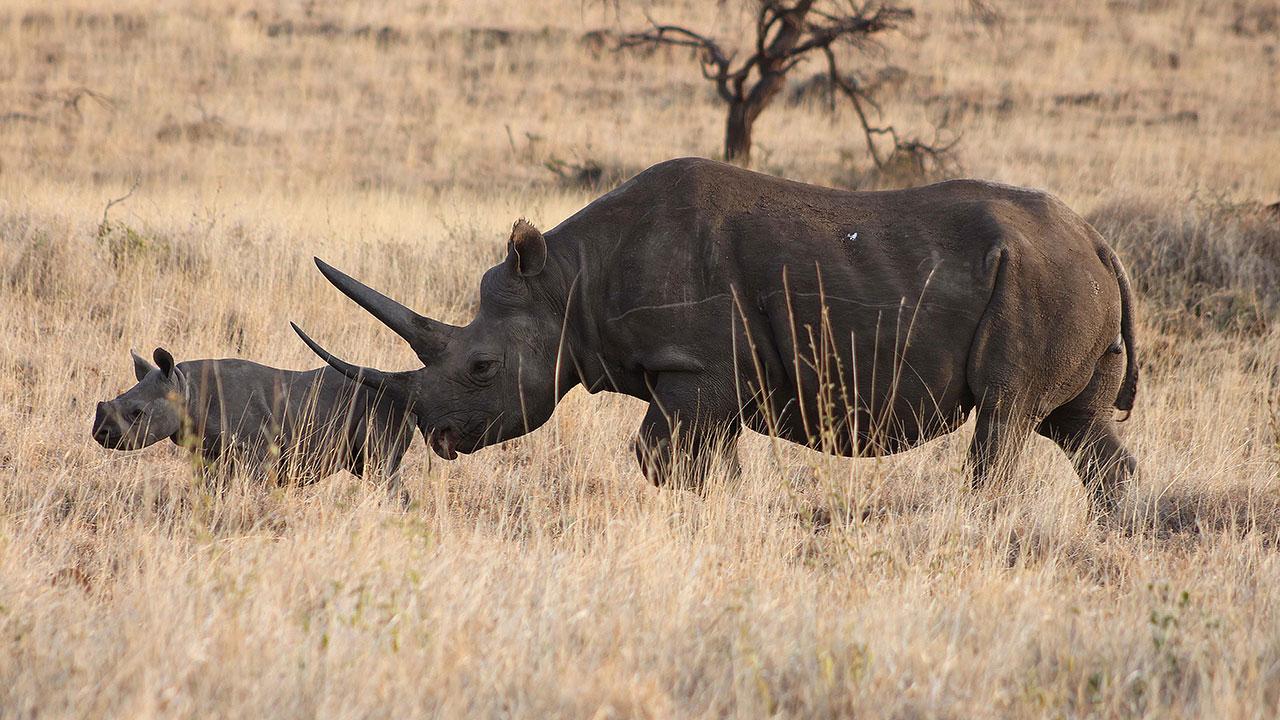 Africa's Endangered Black Rhinos