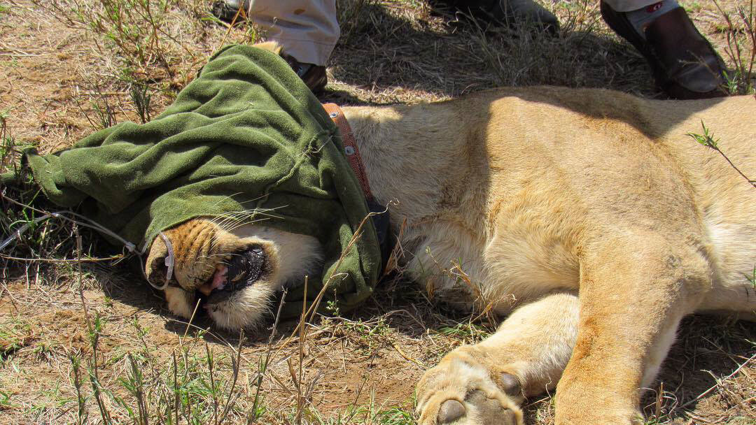 Treatment and collaring a lion in Loisaba