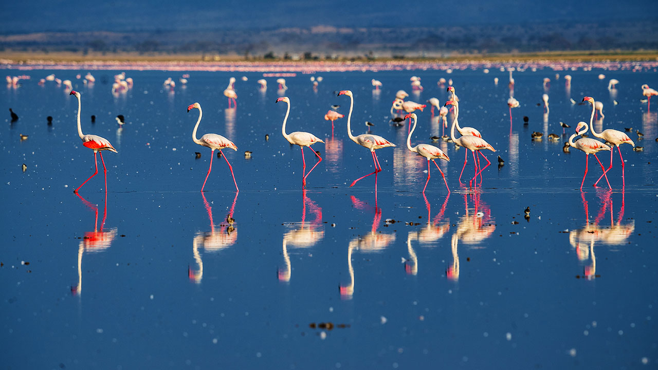 Flamingo Walking